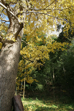 maidenhair_tree