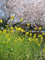 sakura_20050409_0011_1